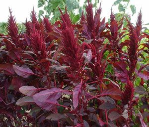 Amaranthus 'Red Spike'