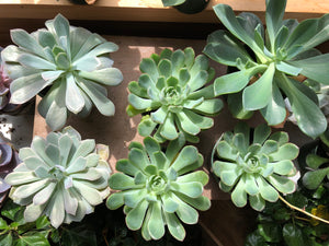Succulents (Assorted)