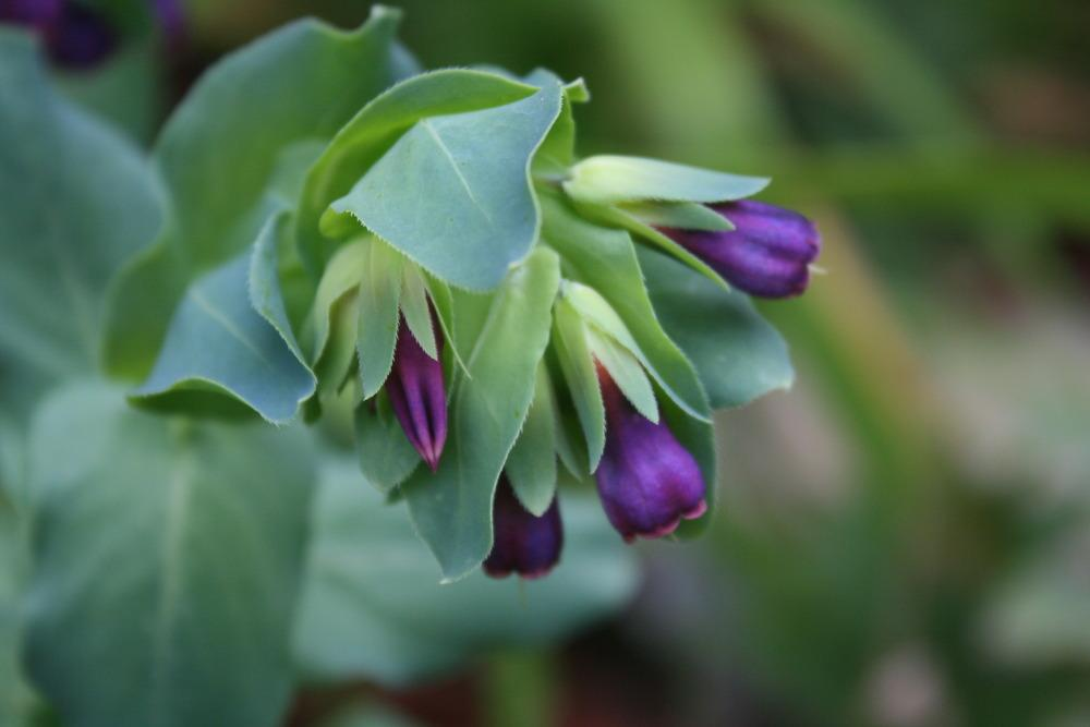 Cerinthe major purpurascens 'Kiwi Blue'
