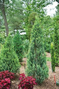 Chamaecyparis lawsoniana 'Pinpoint® Blue'