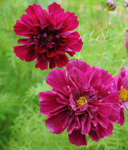 Cosmos 'Double Click Cranberries'