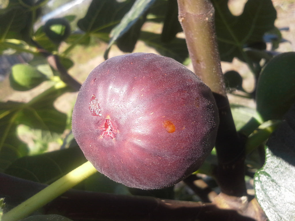 Fig 'Bensonhurst Purple'