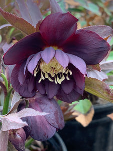 Helleborus Winter Thrillers™ 'Midnight Ruffles'