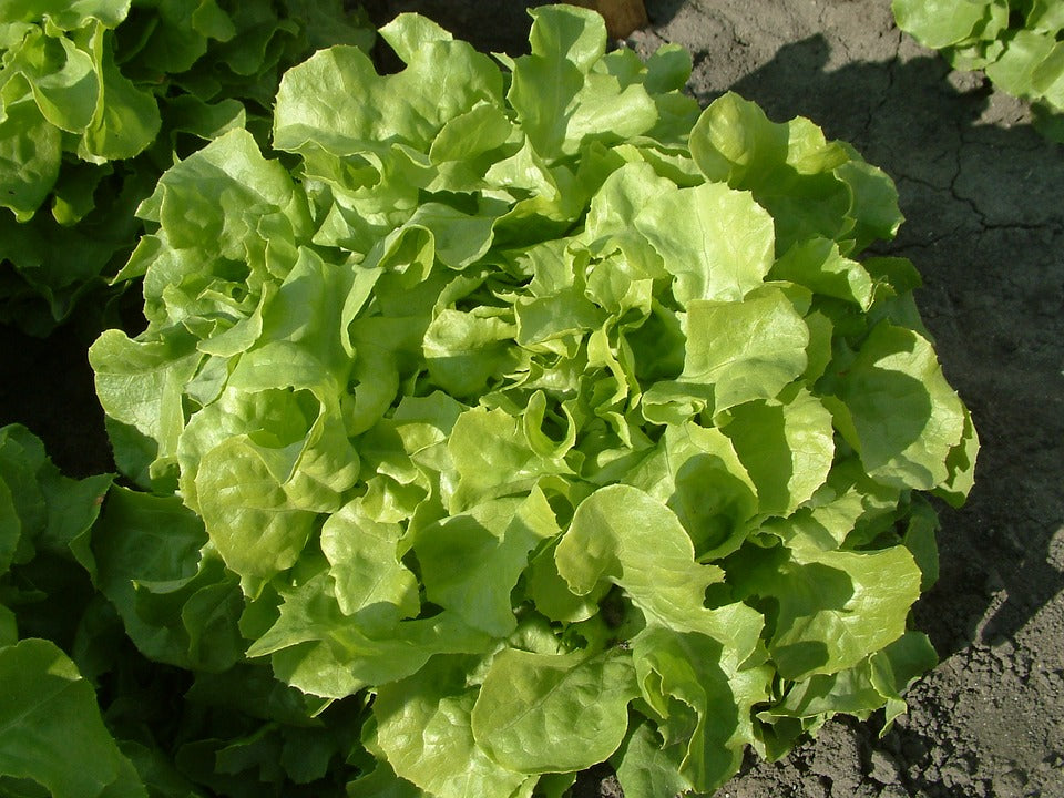 Lettuce 'Oakleaf Mix'