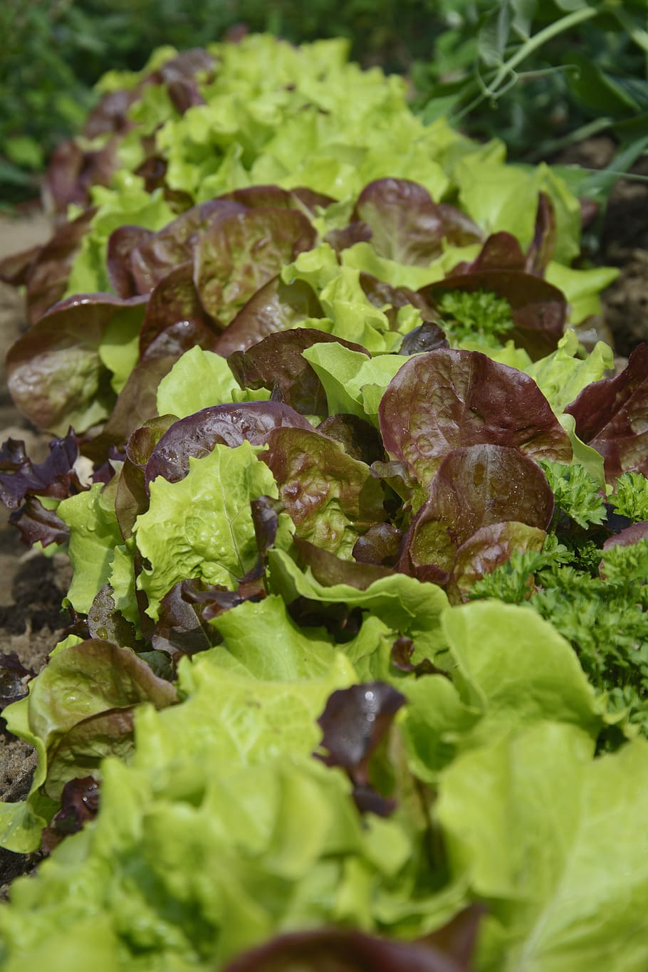 Lettuce 'Salad Bowl Mix'