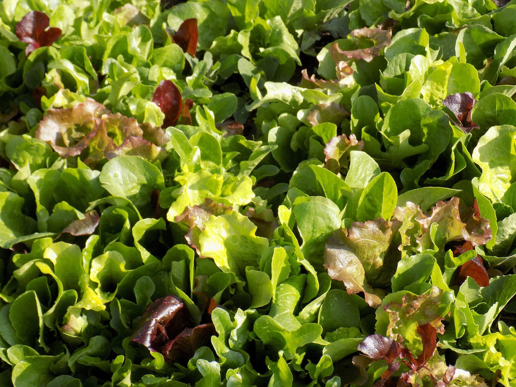 Lettuce 'Salad Greens Mix'