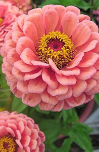 Zinnia 'Benary's Giant Salmon Rose'