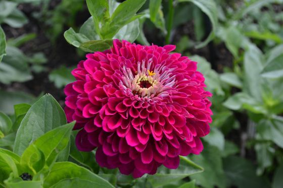 Zinnia 'Benary's Giant Wine'
