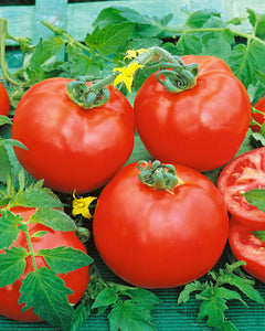 Tomato 'Container Choice'