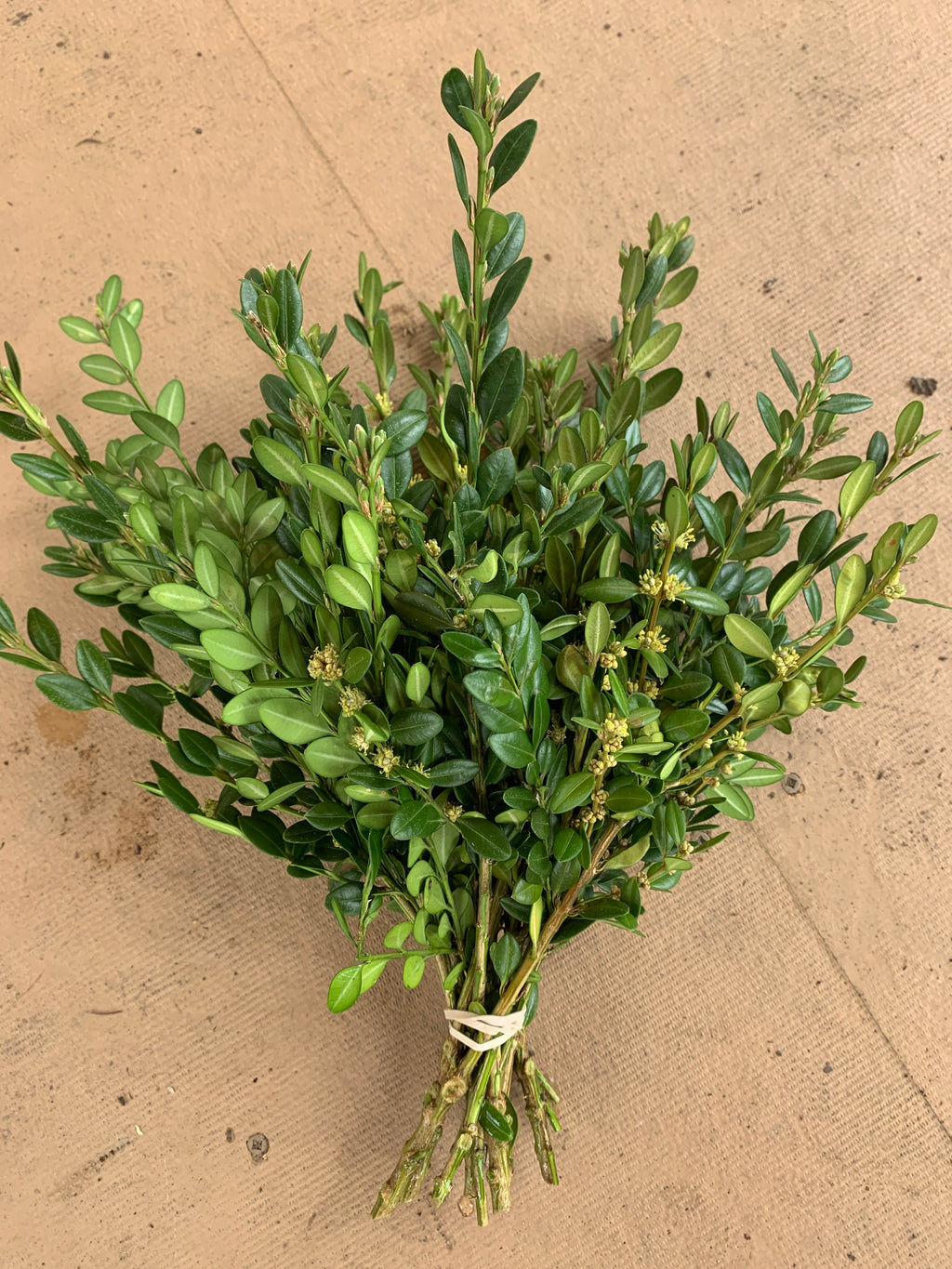Buxus bundle