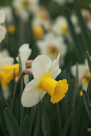 Narcissus 'Smiling Sun'