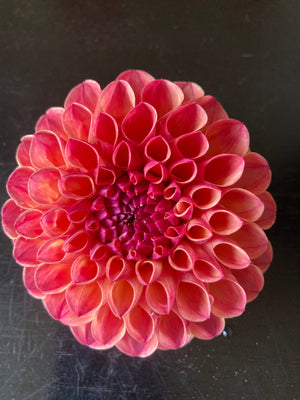 Dahlia rose ball with peach A17