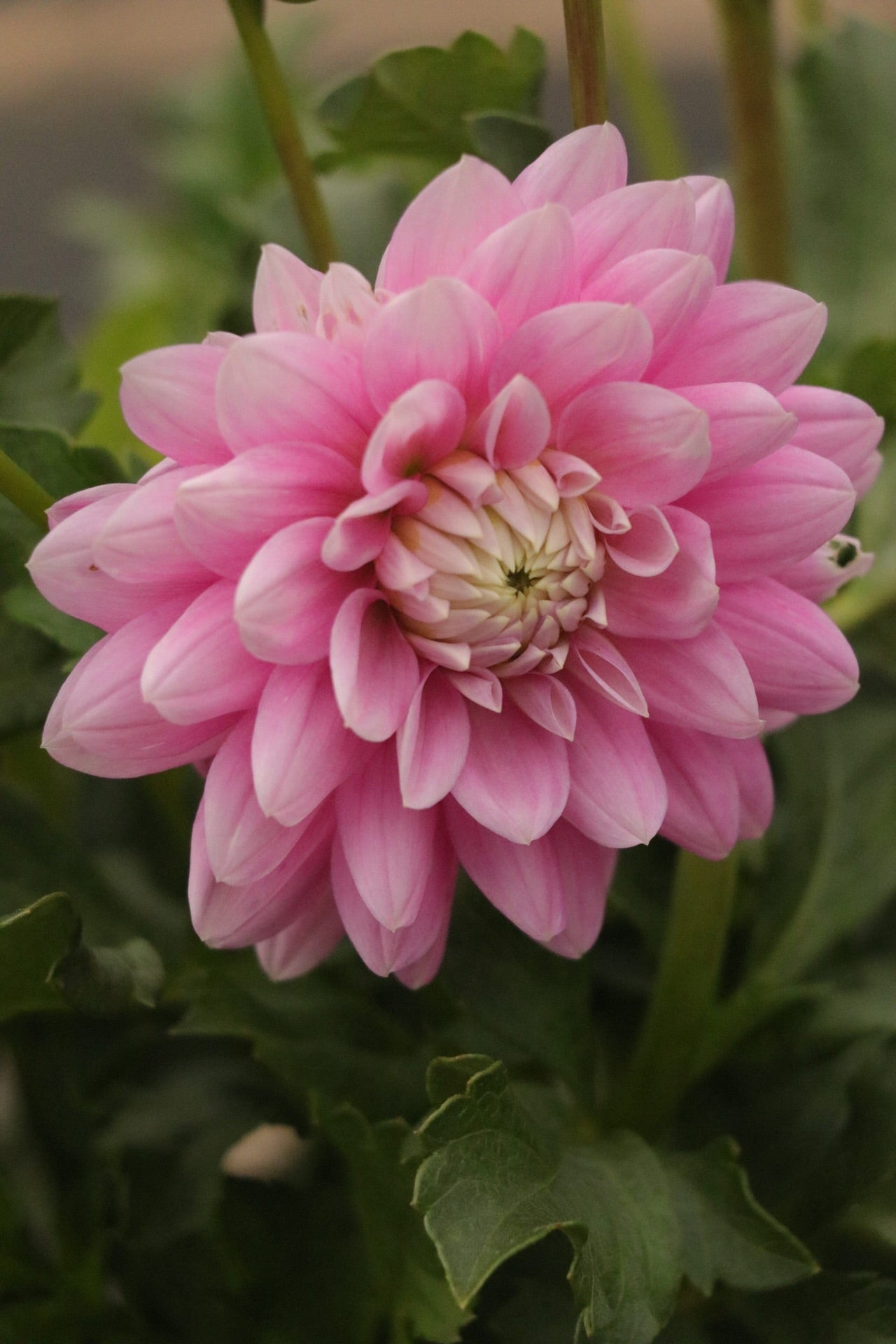 Dahlia mid pink A7