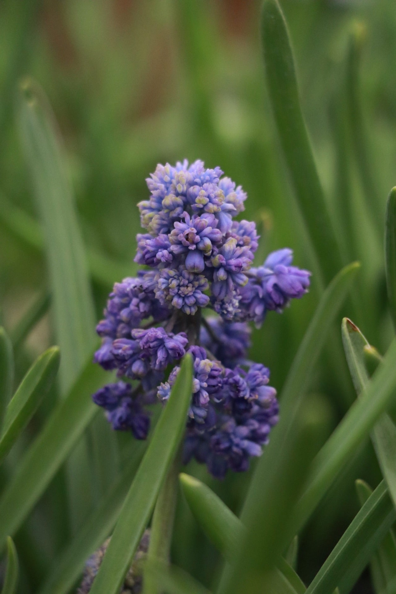 Muscari armeniacum 'Fantasy Creation'