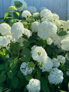 Hydrangea arborescens 'Incrediball®'