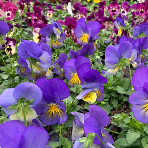 Pansy Cool Wave