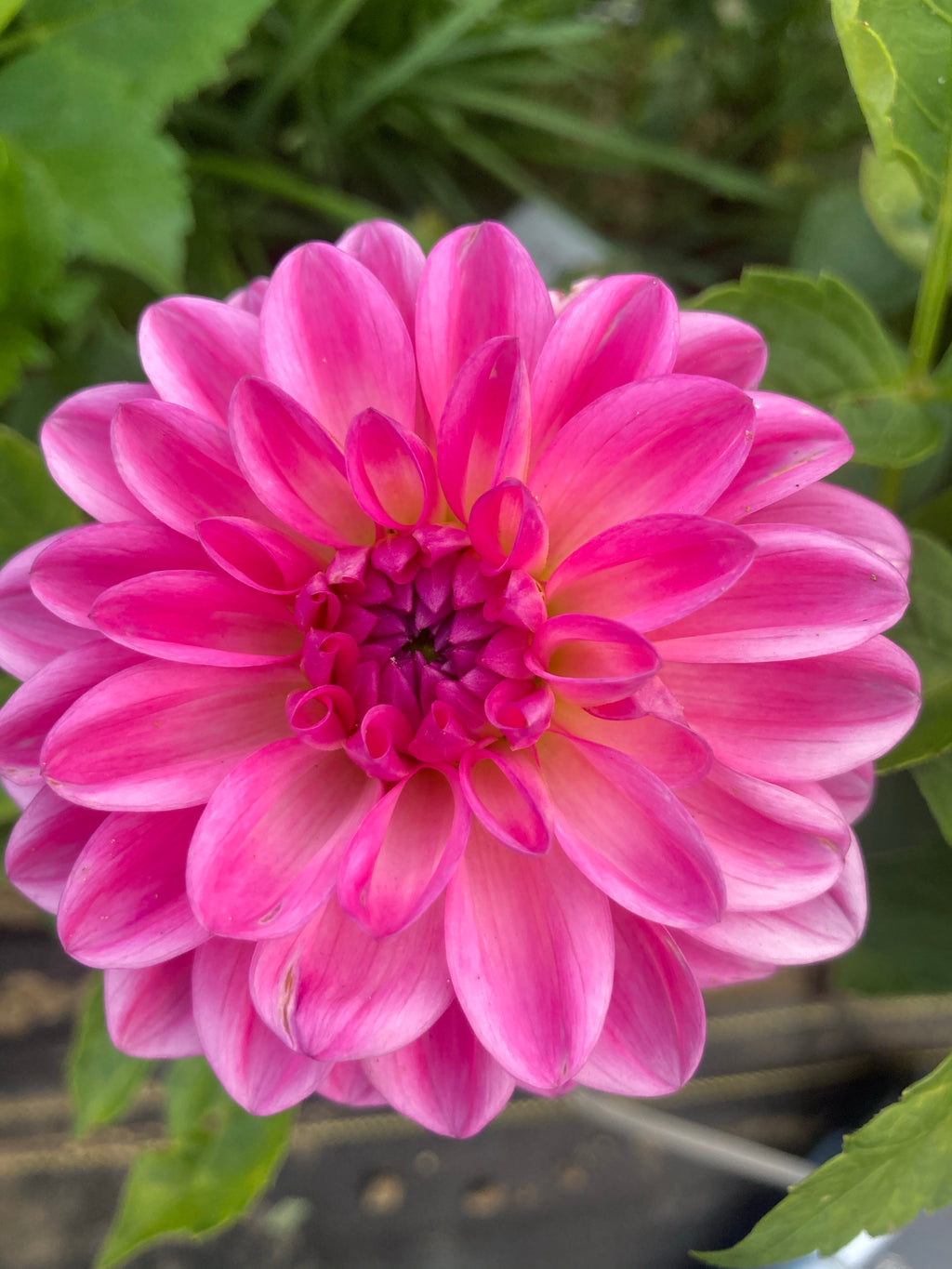 Dahlia mid pink with dark center A12