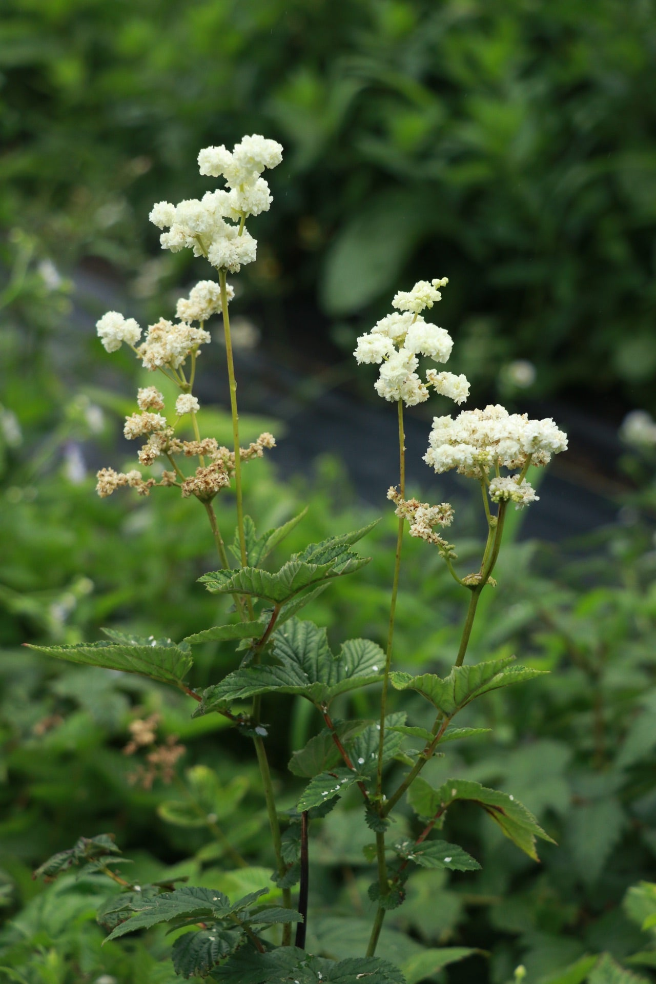 Filipendula vulgaris 'Plena'