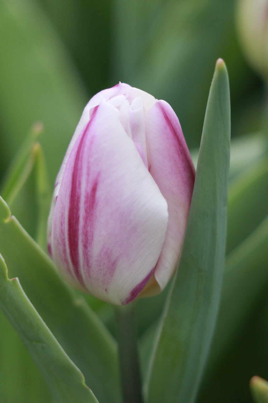 Tulip 'Flaming Flag'
