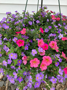 Pink & Blue Bacopa Hanging Basket