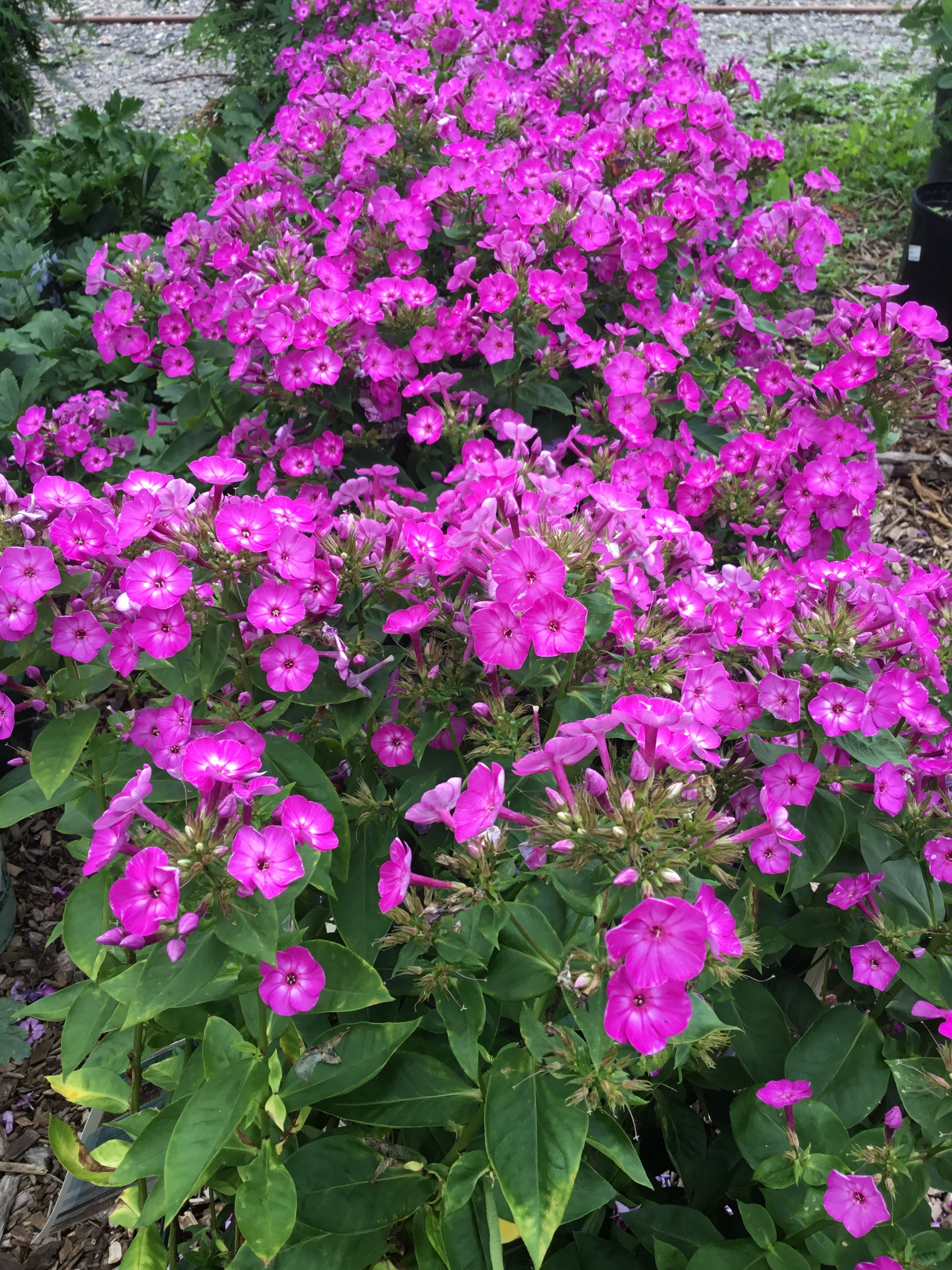 Phlox 'Volcano Purple with White Eye'