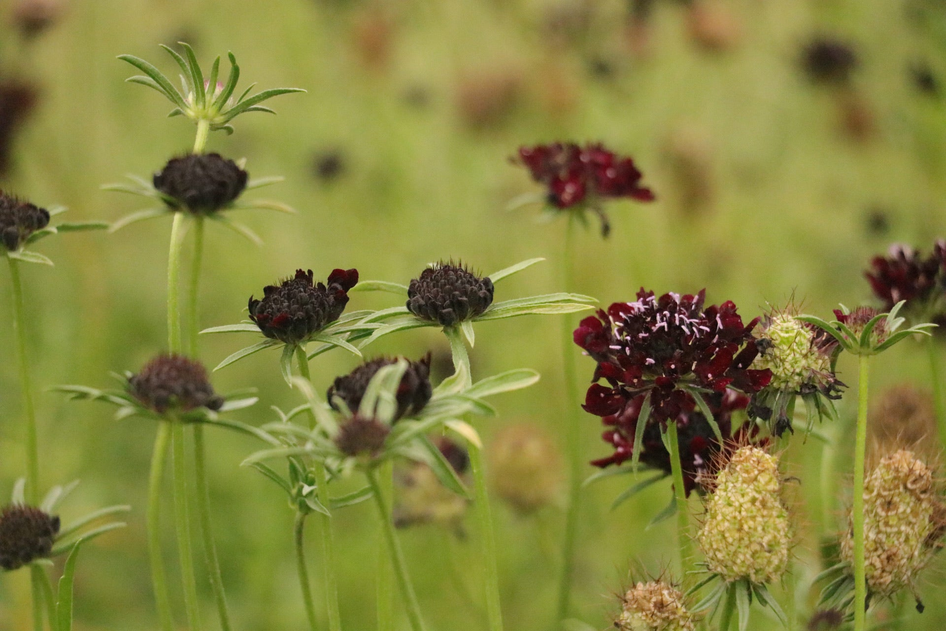 Scabiosa 'Black Beauty'