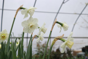 Narcissus 'Misty Glen'