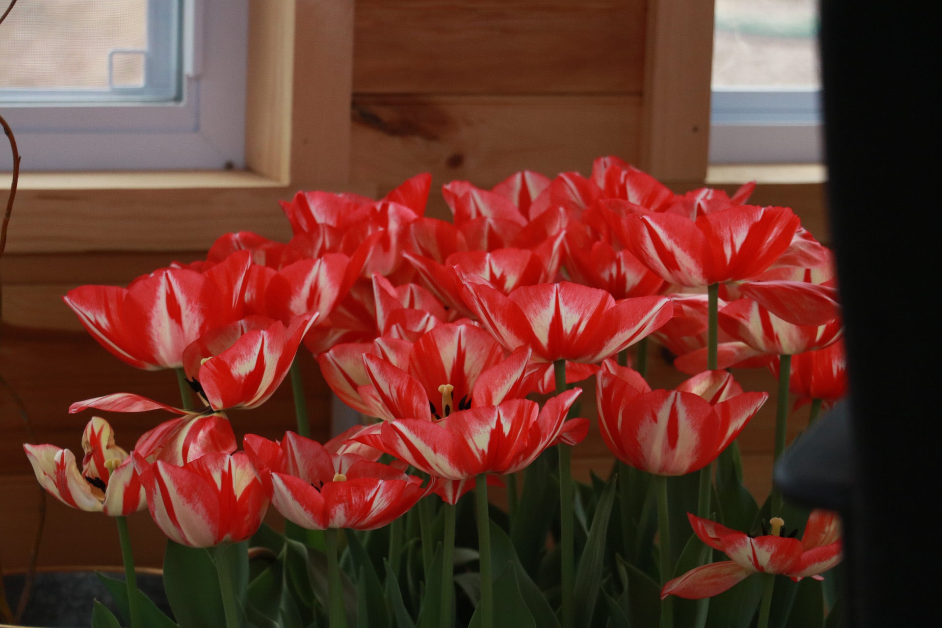 Tulip 'Spryng Break'