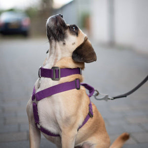 Purple Cotton Harness + Marine Grade Steel Hardware - Holler Brighton
