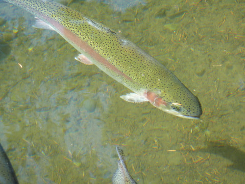 Swimming Rainbow Trout
