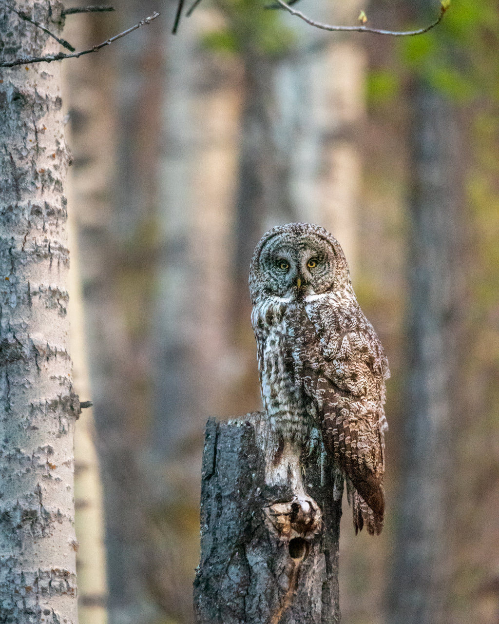 Great grey owl, wildlife bird photography