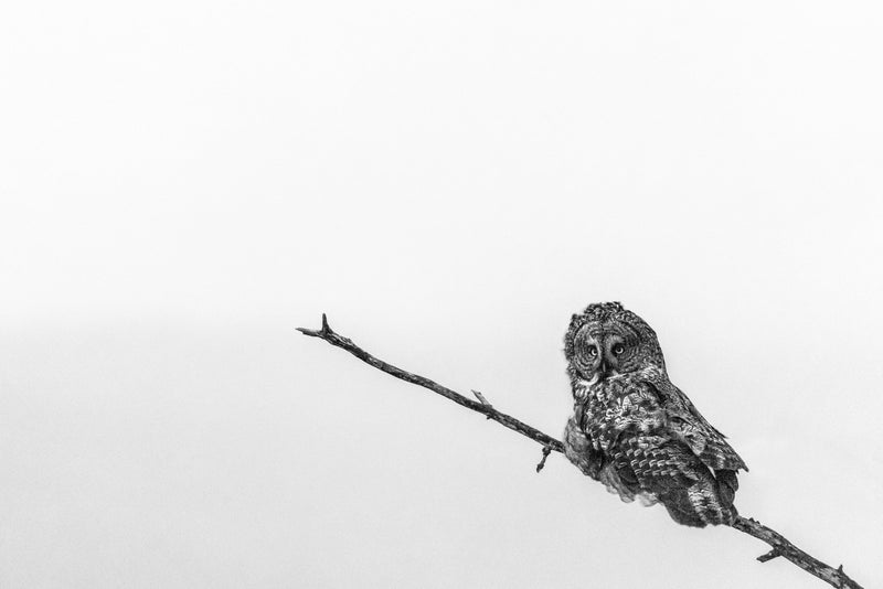 Great grey owl, black and white, wildlife bird photography, minimalist