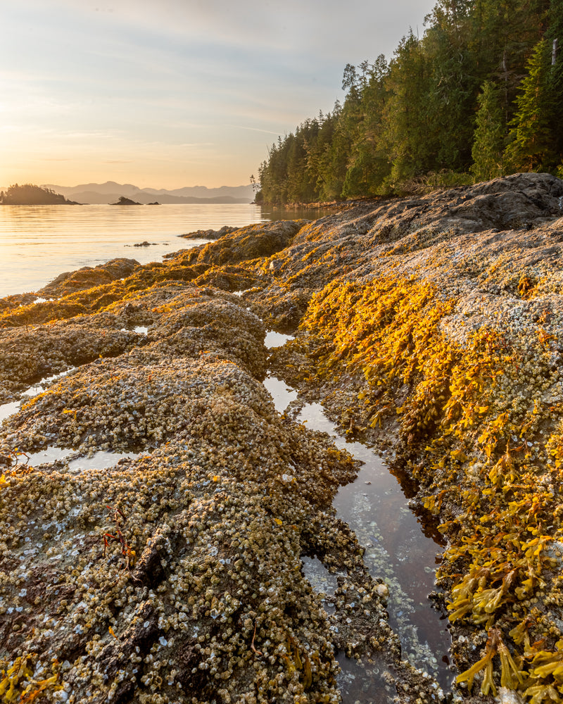 Gibraltor Island, Broken Group Islands, Pacific Rim National Par, low tide at sunrise