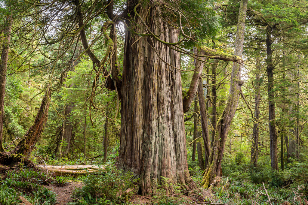 Western Red Cedar on Willis Island of the Broken Group Islands, Pacific Rim National Park