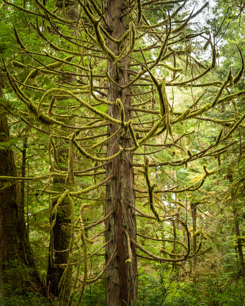 Moss covered tree in the coastal rainforest, Pacific Rim National Park, British Columbia