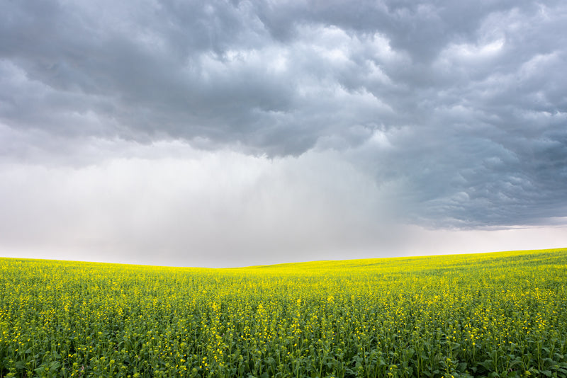 Canola field during severe thunderstorm, Alberta prairies.