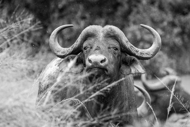 Water buffalo on safari in Hluhluwe-iMfolozi game reserve, South Africa. Black and white wildlife travel photography.