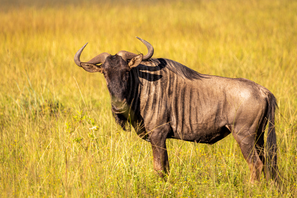 Wildebeest on South Africa safari in Oribi Gorge. Travel and wildlife photography.
