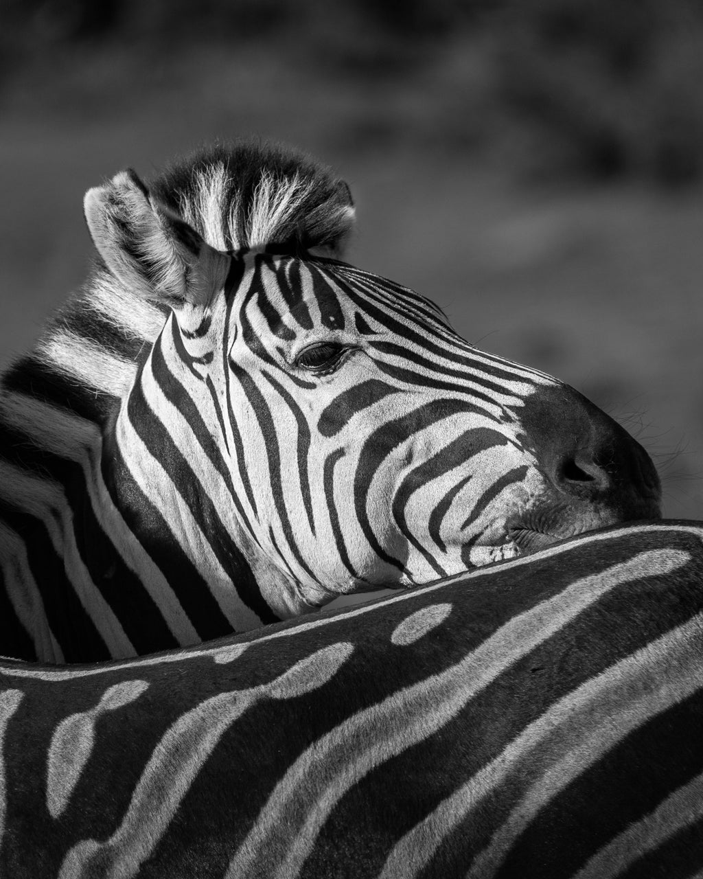 Zebra black and white photography. South Africa Safari.