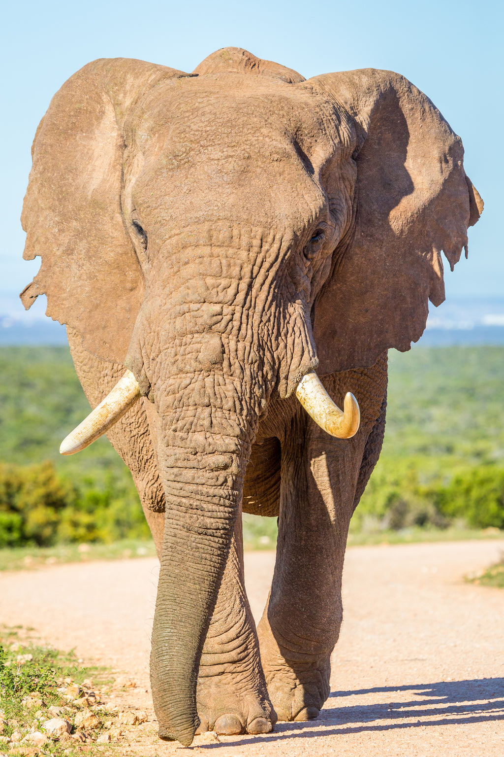 Elephant, Addo Elephant Park, South Africa, Travel Wildlife Photography