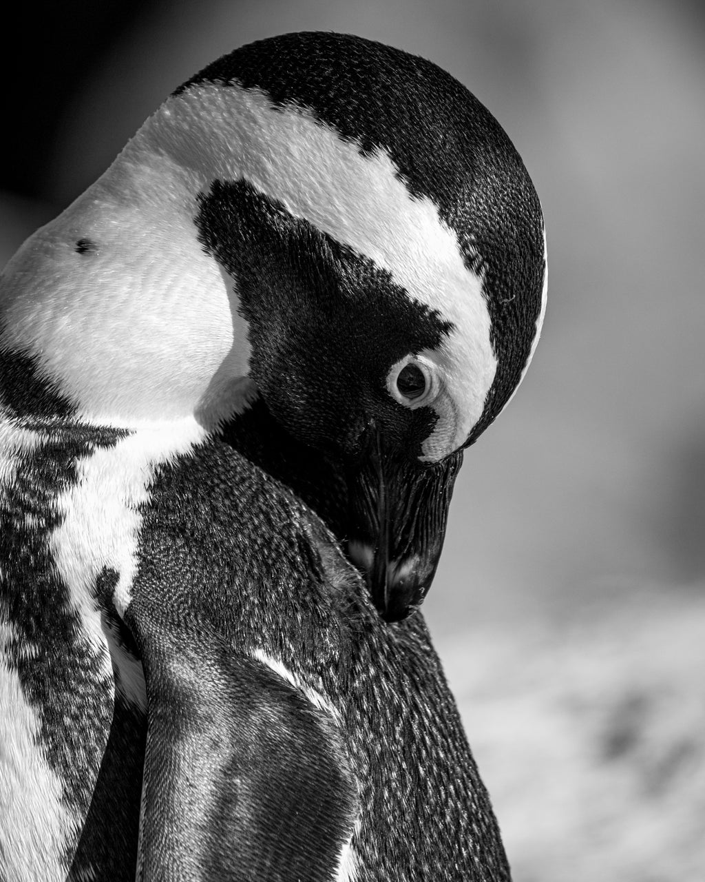 South African penguin, travel wildlife photography, black and white