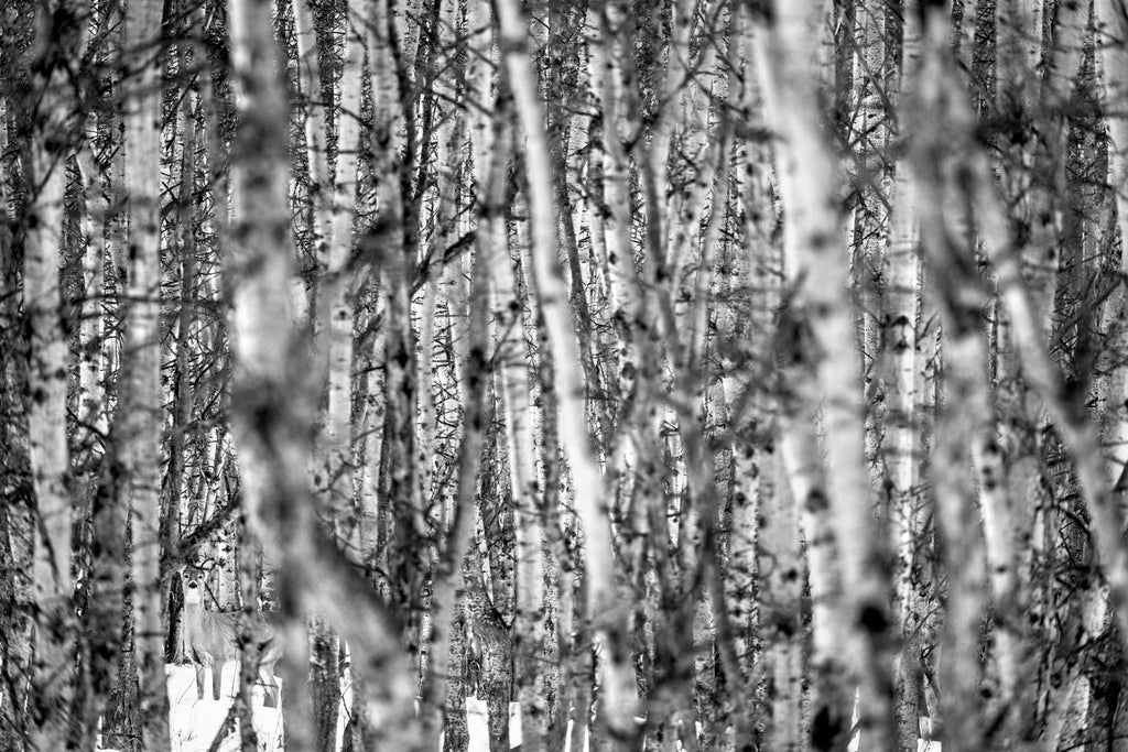 White tailed deer in aspen forest at Ann and Sandy Cross Conservation Area, black and white photography,