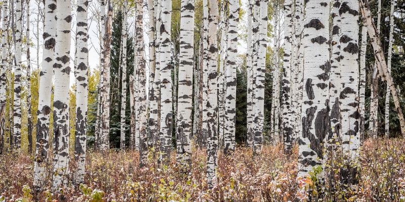 Aspen forest with repeating pattern of tree trunks