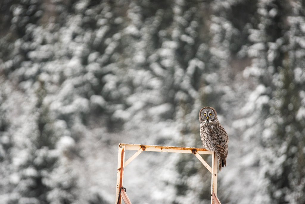Great grey owl perched on cattle ramp, Water Valley Alberta, wildlife photography