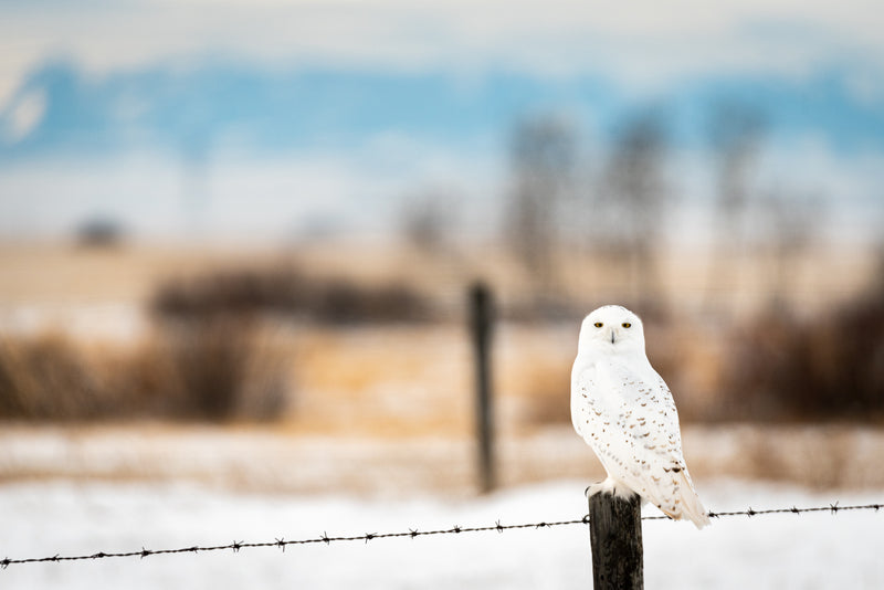 Snowy owl on fencepost, rural Alberta, wildlife photography