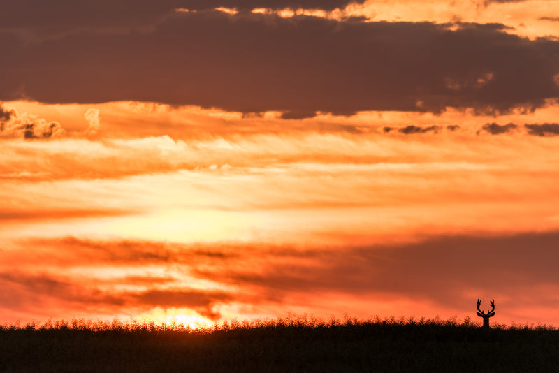 Deer silhouetted at top of hill during sunset, Drumheller Alberta, wildlife photography