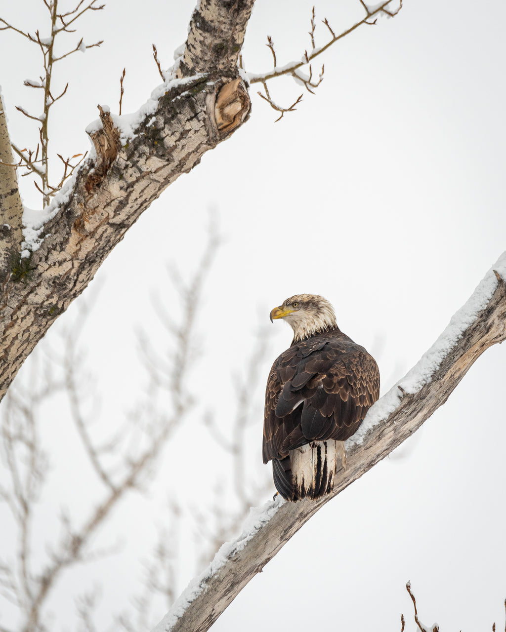 Juvenile bald eagle resting on poplar tree branch in winter