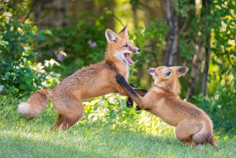 Two red foxes play, Alberta wildlife photography