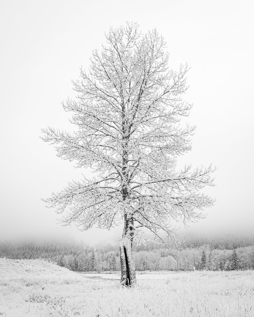 Poplar tree covered by frost and snow on misty and foggy morning at Glenbow Ranch Provincial Park, Alberta