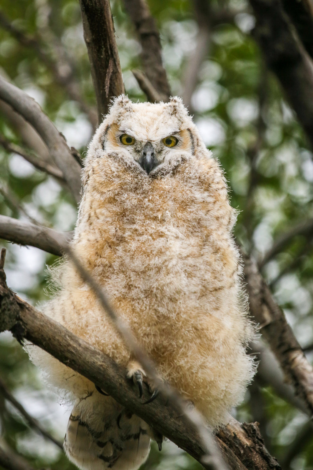 great horned owlet, juvenile, Alberta wildlife photography